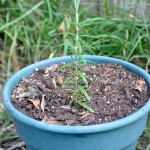 How to Propagate Rosemary from the Sprig